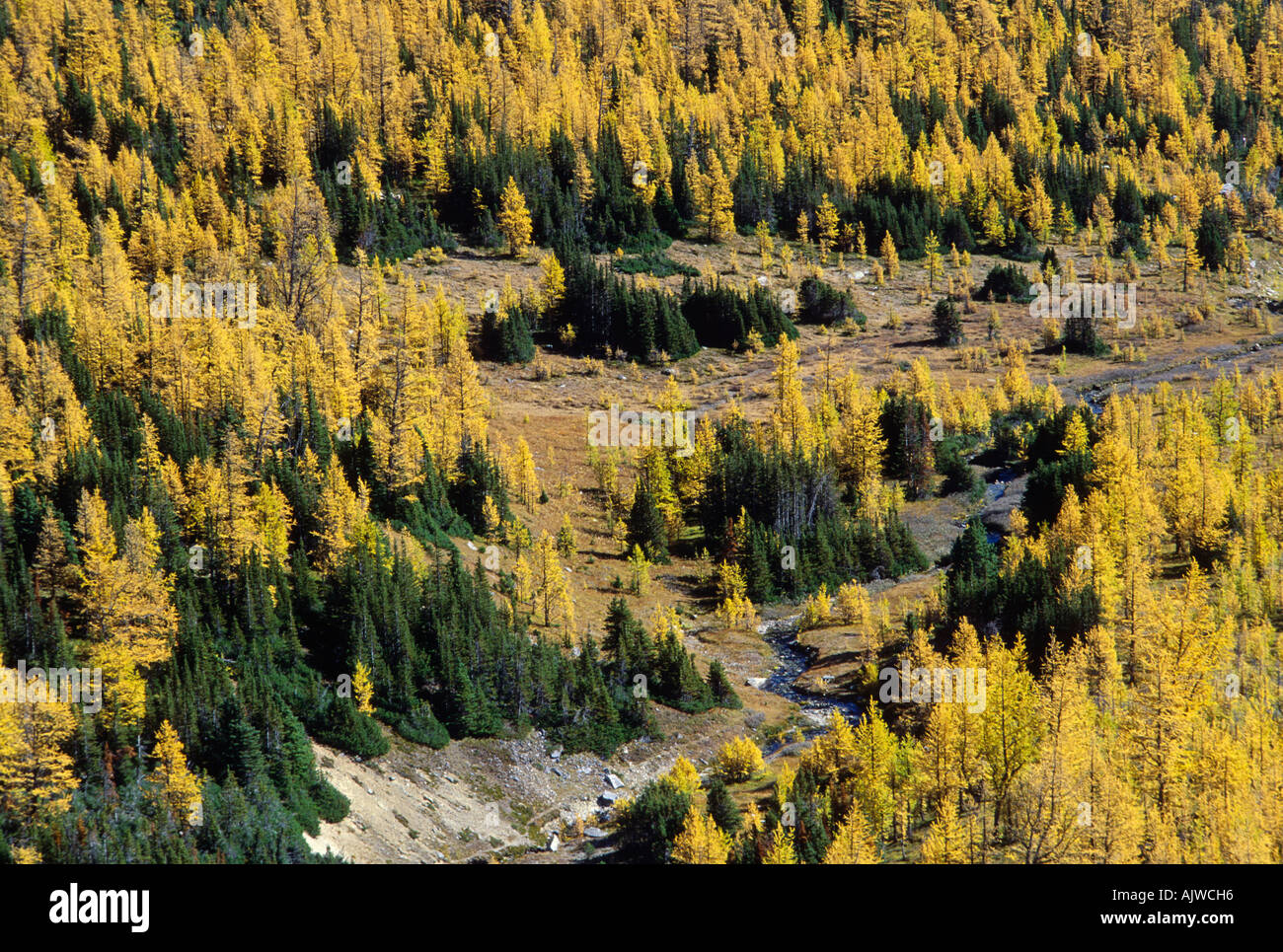 Taiga, subalpine larch in autumn foliage and englemann spruce, Larch Valley, Banff National Park, Alberta - Stock Image