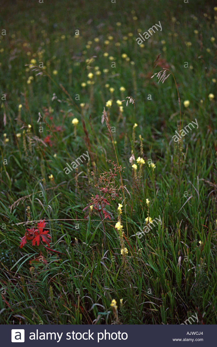 Northern mixed grassland prairie with wildflowers, Alberta Canada - Stock Image