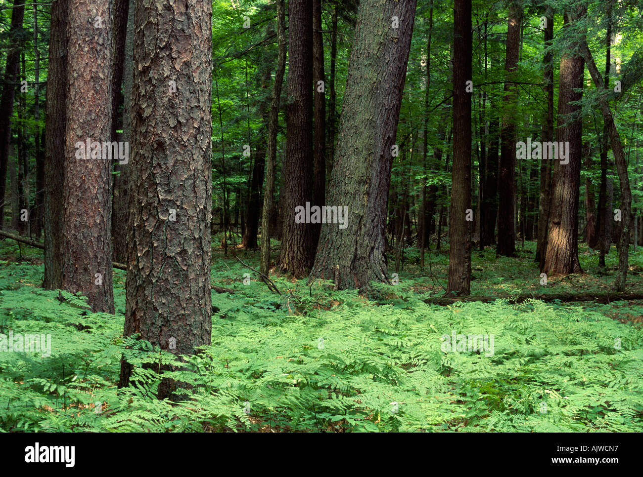 White pine and red pine forest, Hartwick Pines State Forest, Michigan - Stock Image