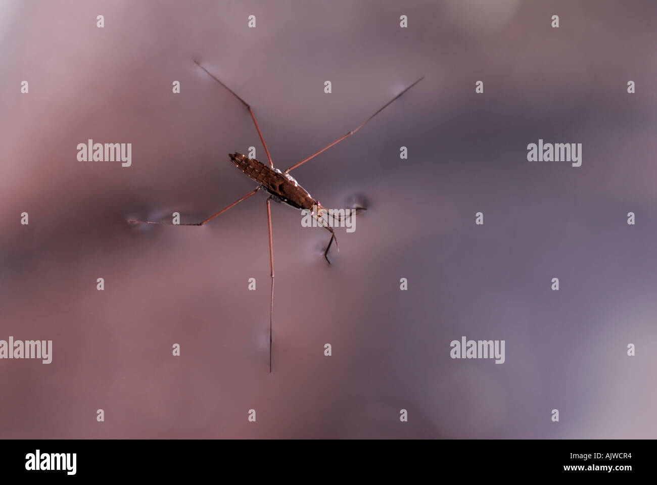 Water strider, Gerris remigis, using surface tension to walk on water, with colorful foliage reflections - Stock Image