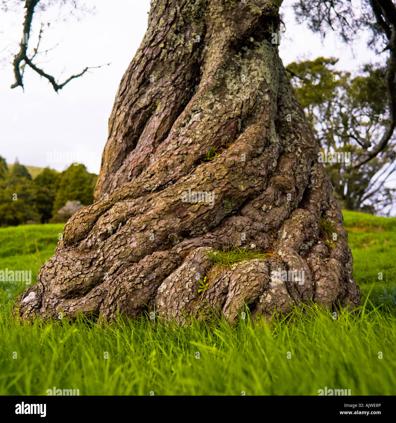 Twisted tree trunk - Stock Image