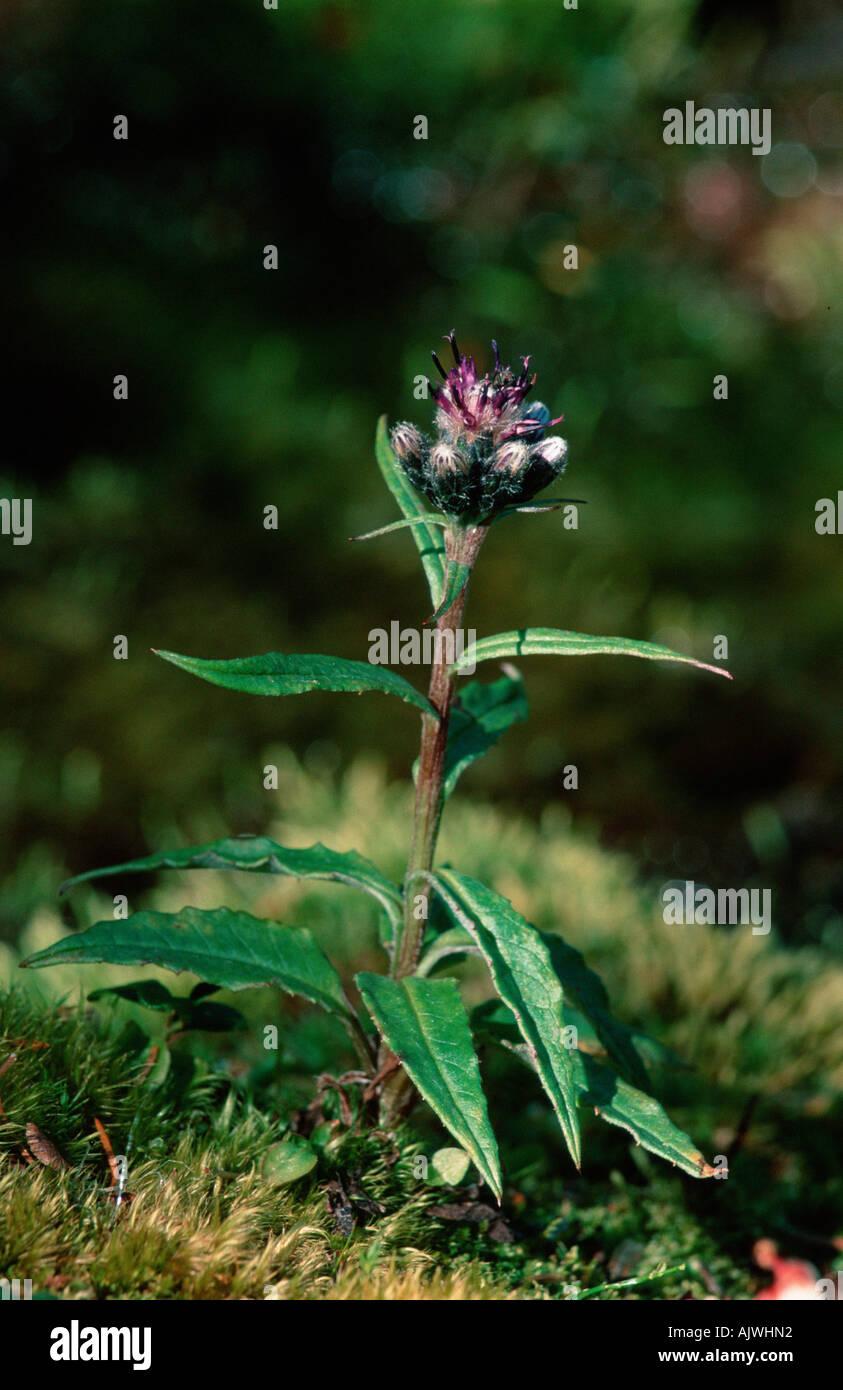 Alpine Sawwort Stock Photo