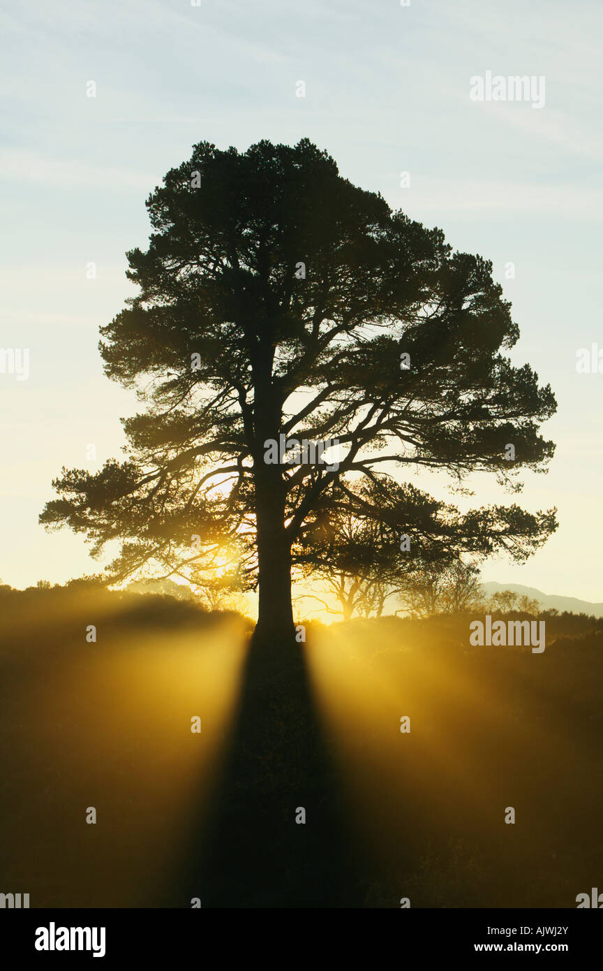Scots pine tree silhouetted against the rising sun in Glen Affric, Inverness, Highland, Scotland, UK - Stock Image