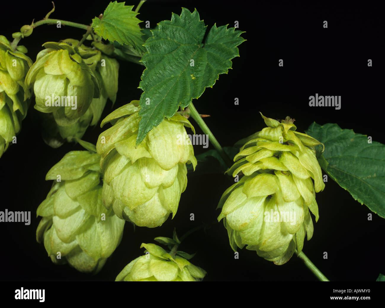 Hop hops flower at harvest - Stock Image