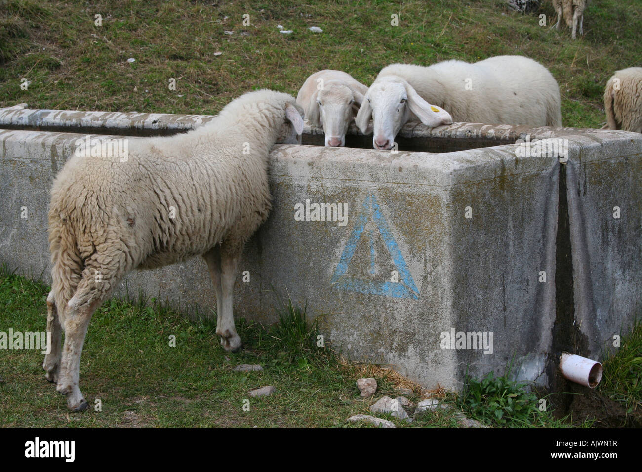 Sheep slaking their thirst at Rifugio Pian di Fontana, Dolomiti Bellunesi, Veneto, Italy - Stock Image