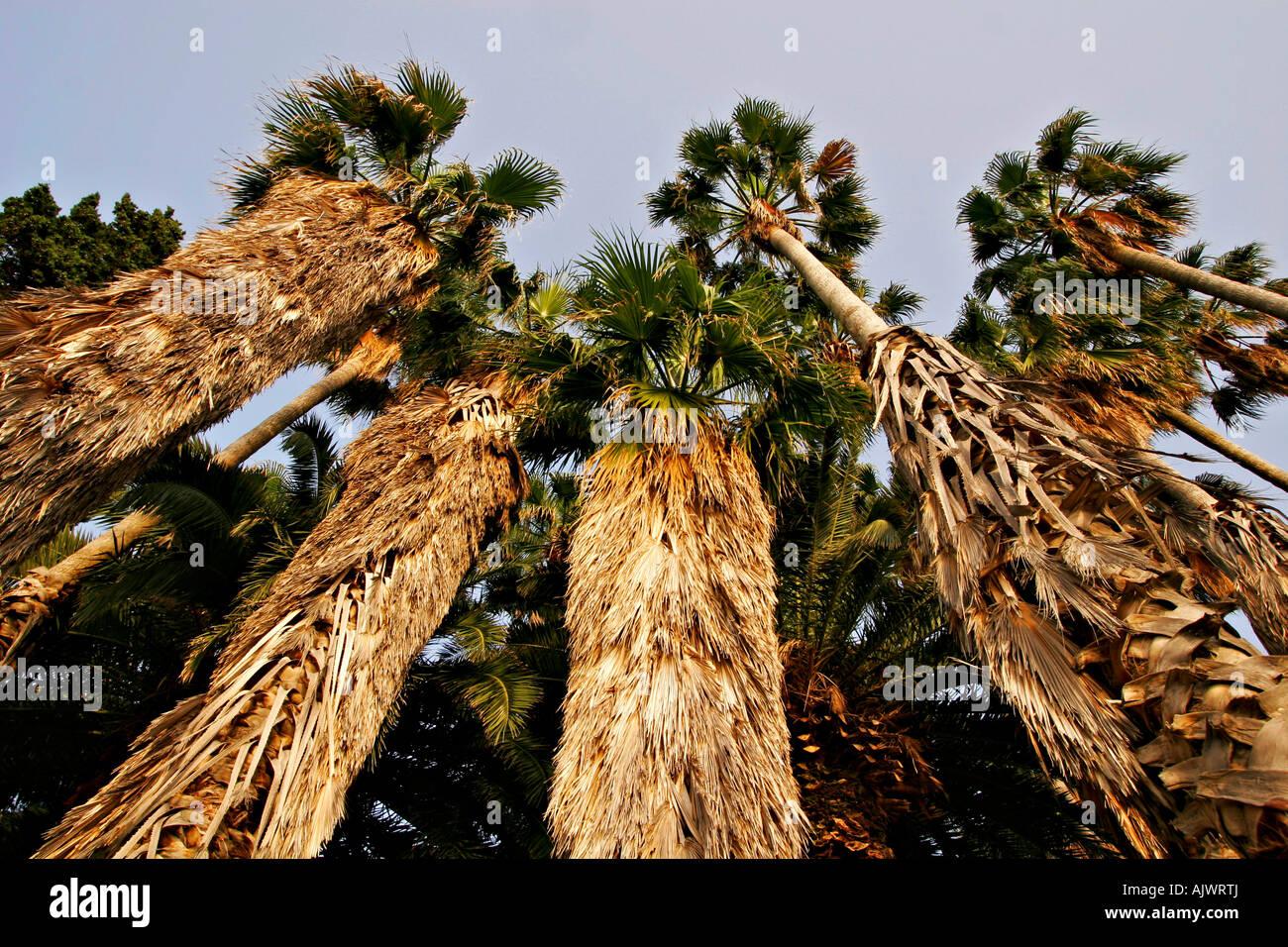 HRV Kroatien Dubrovnik, Palmen an der Kroatischen Mittelmeerkueste | Croatia, Palms at the Croatian Mediterranean - Stock Image