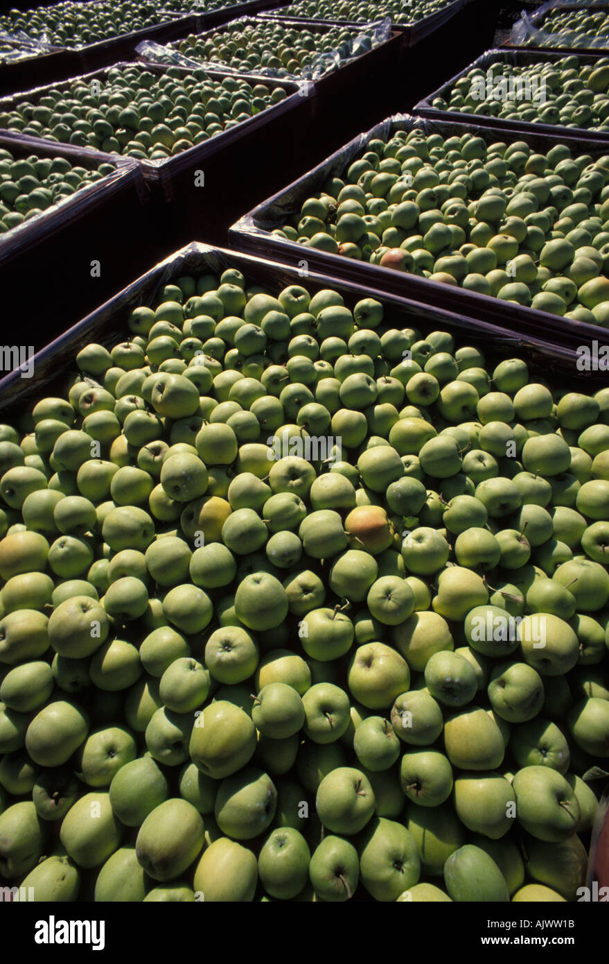 Golden Delicious Apple harvest in eastern Washington State are a major agricultural crop in the Pacific Northwest Stock Photo