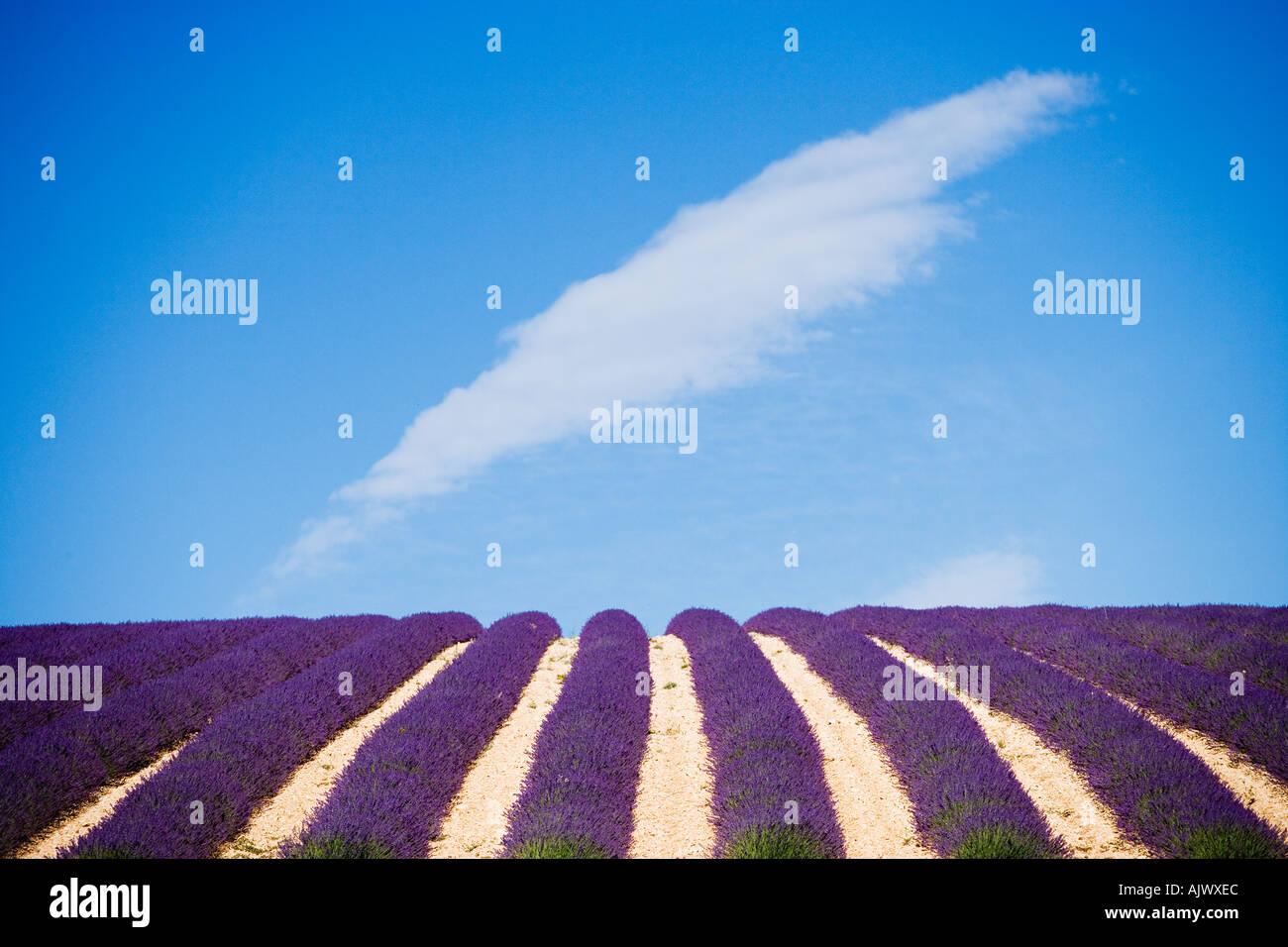 France Provence Valensole region Lavender field - Stock Image