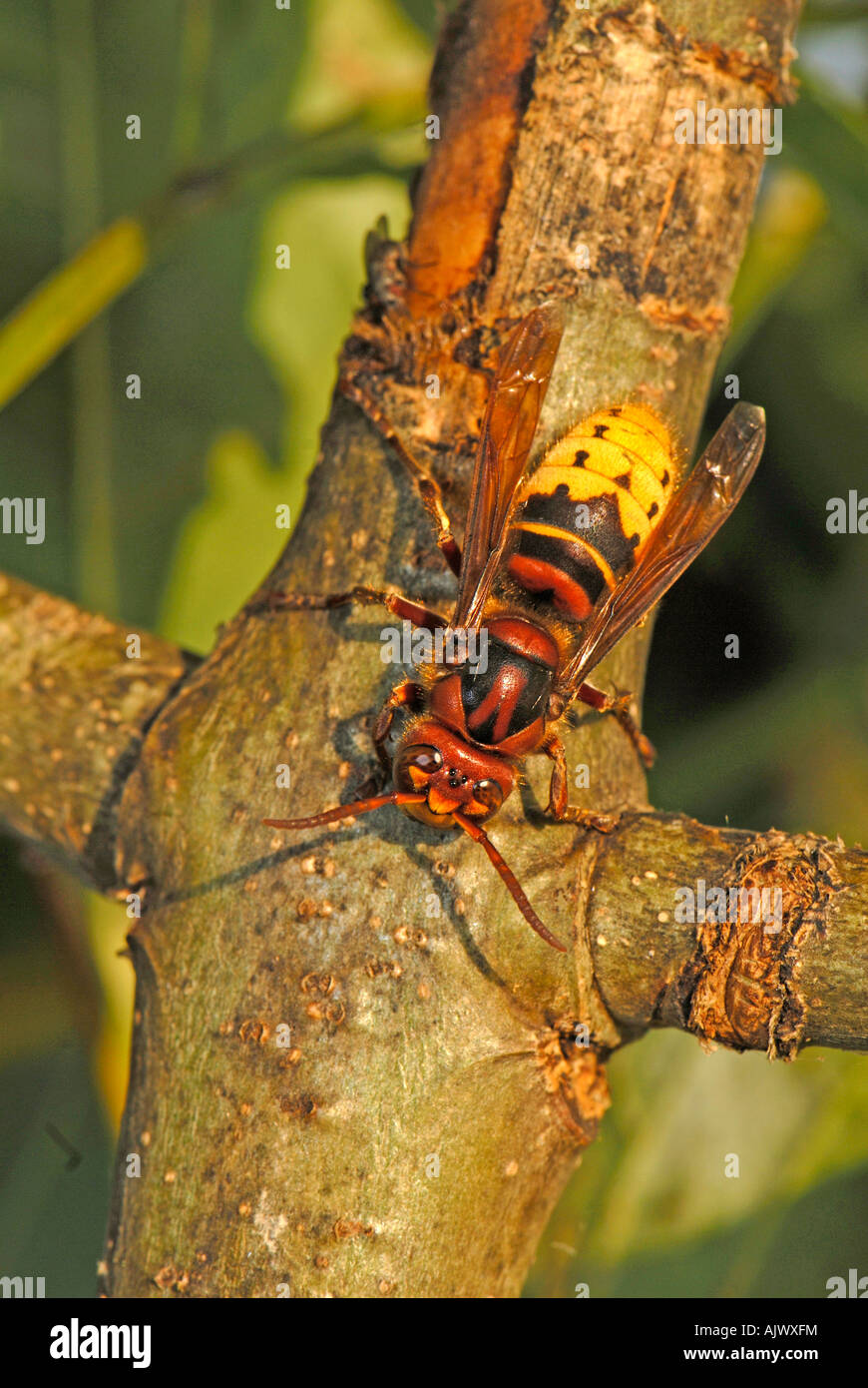 Sap Feeding Insects Stock Photos & Sap Feeding Insects Stock