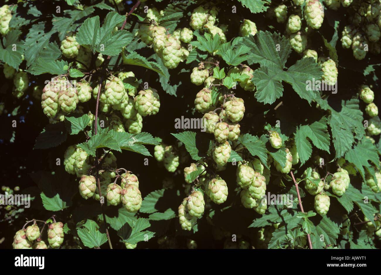 Hop flowers on the bines close to harvest Herefordshire - Stock Image