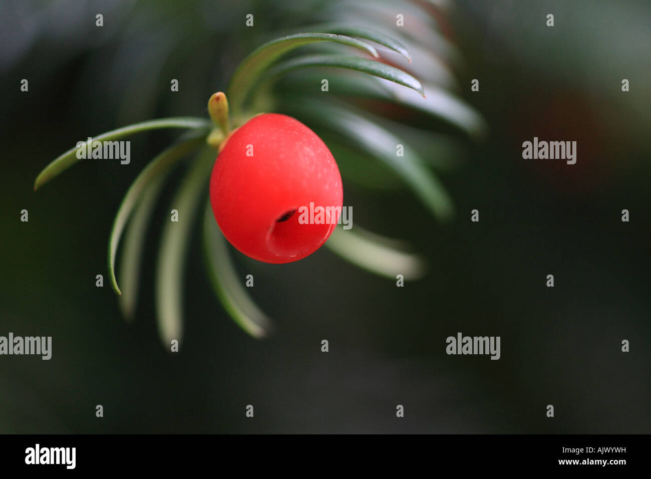 'Yew Tree Berry' close up macro shot - Stock Image