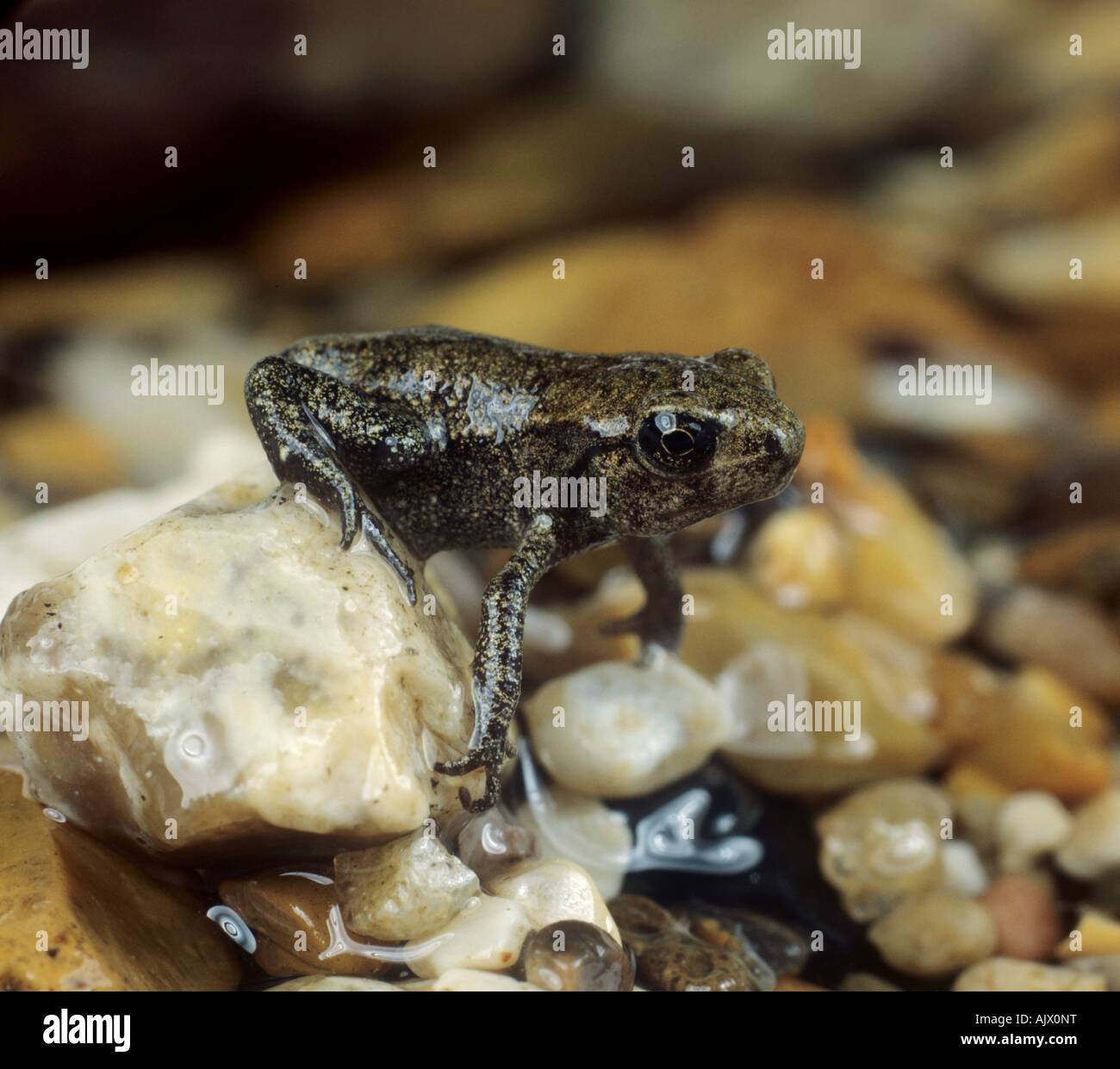 European common frog Rana temporaria very young adult emerging from the water for the first time - Stock Image