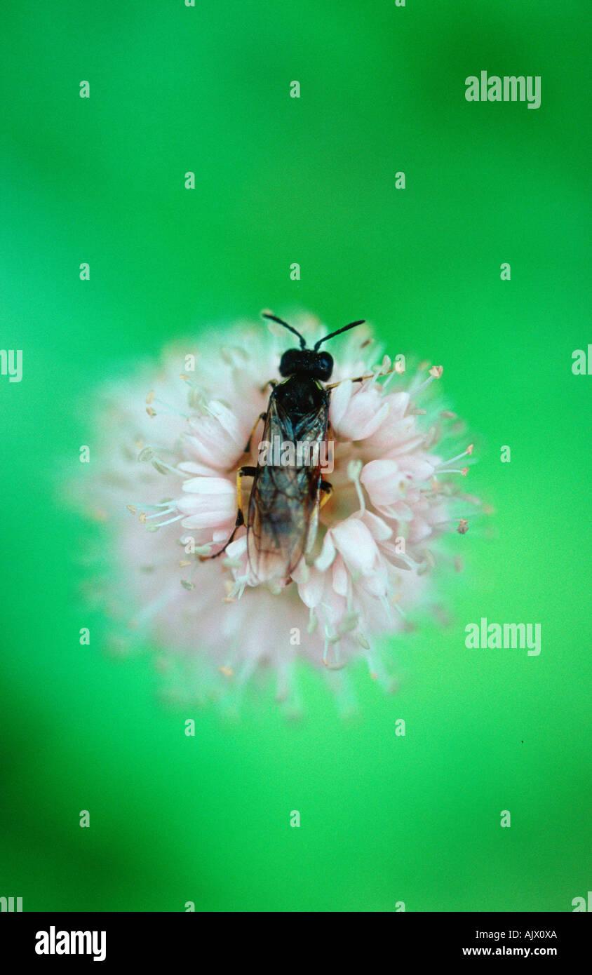 Hymenopterans / Hautfluegler - Stock Image