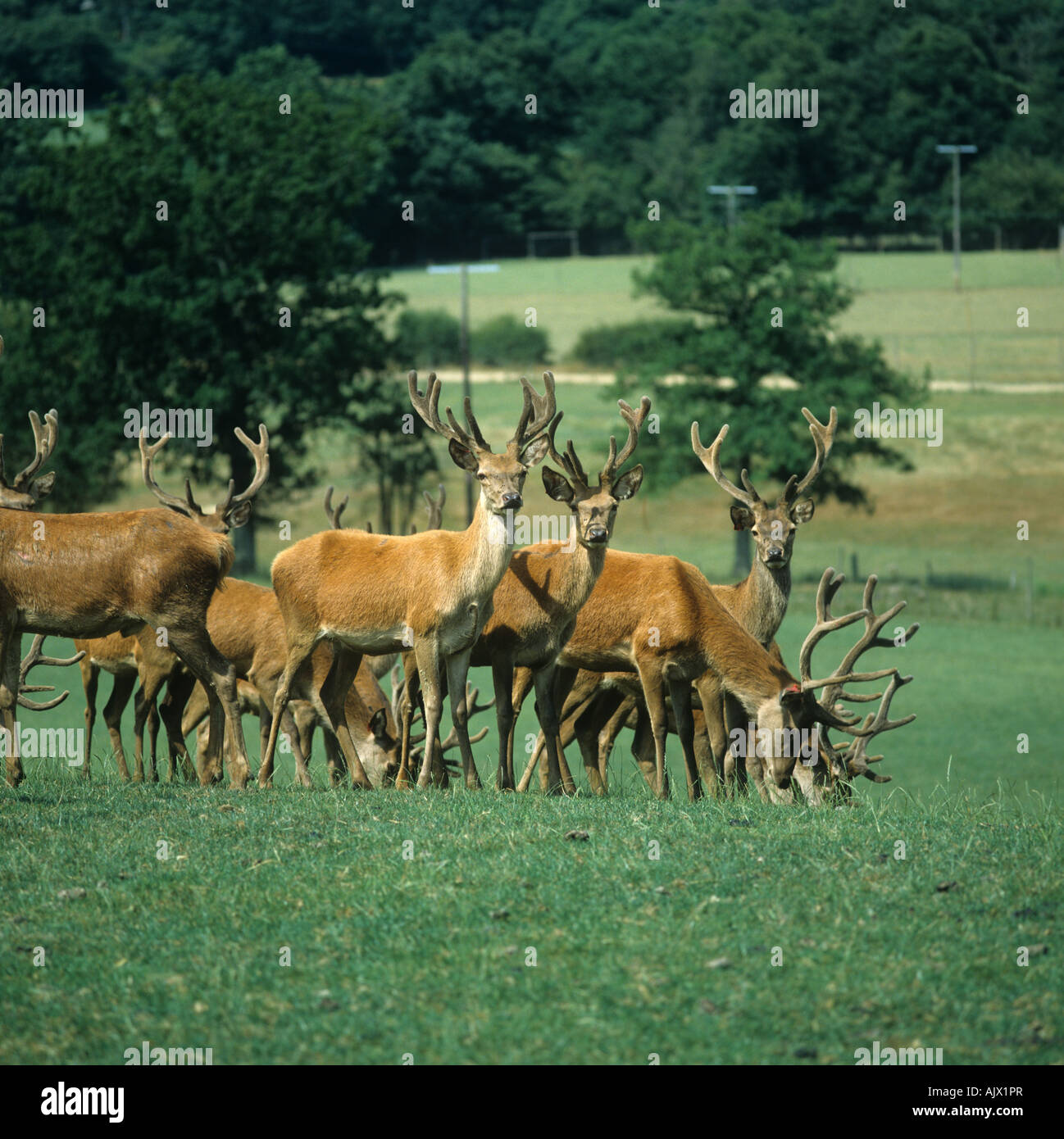 Young red deer stags fattening for venison on open pasture Sussex - Stock Image
