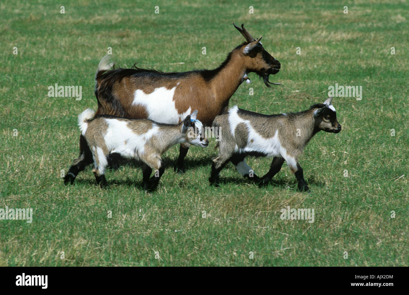 Pygmy goat nanny with two kids walking on grass Somerset - Stock Image