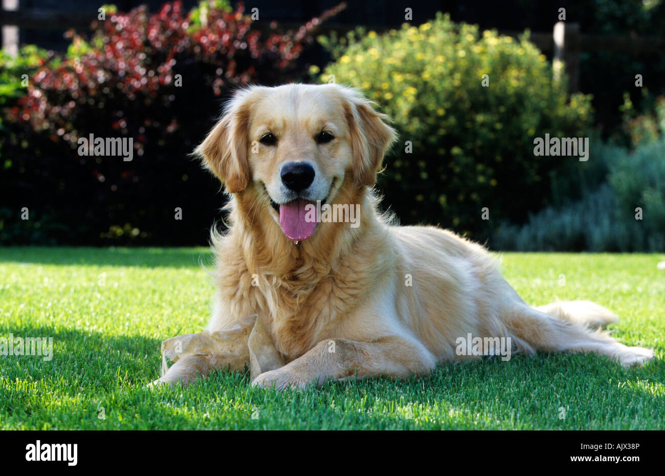 Golden Retriever, liegender Hund | Golden Retriever, lying dog - Stock Image