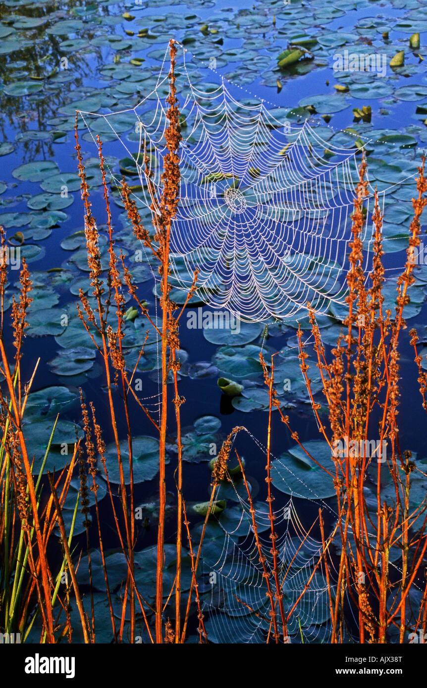 dew on orb webs - Stock Image