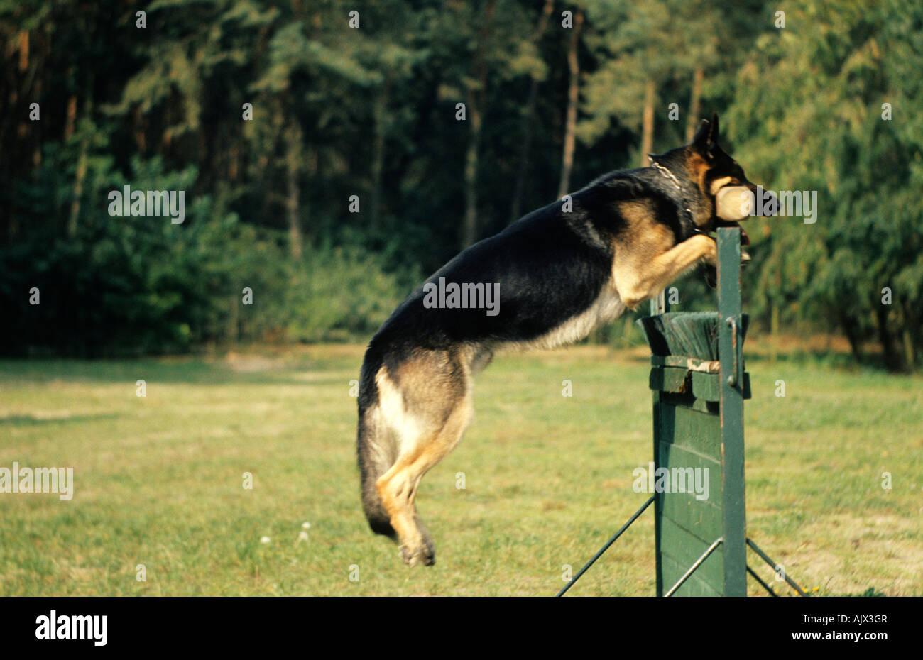 Deutscher Schäferhund Dressur German shepherd dressage Stock Photo