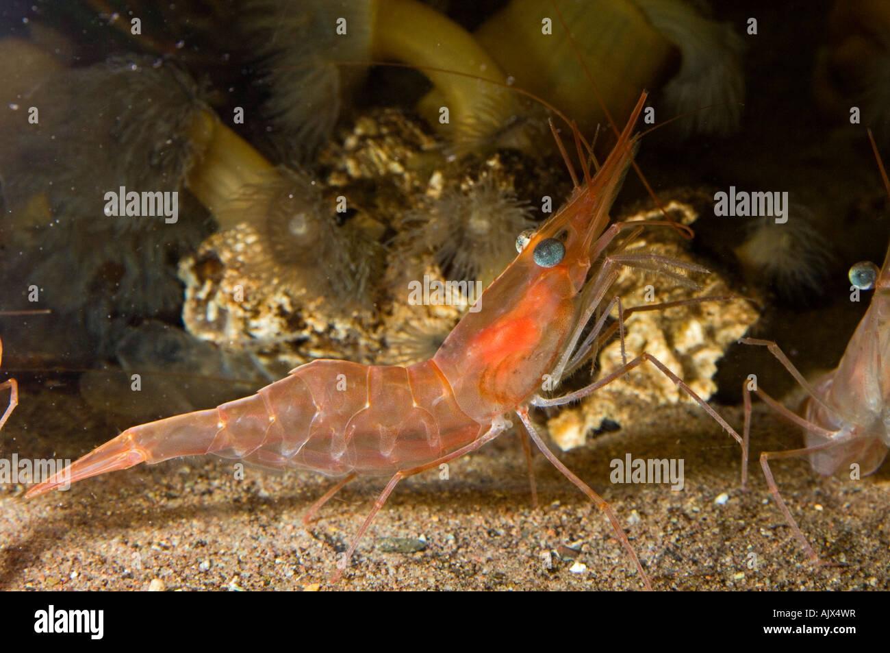 Yellow leg pandalid shrimp Pandalus montagui Aquarium and marine centre of New Brunswick, Shippagan NB - Stock Image