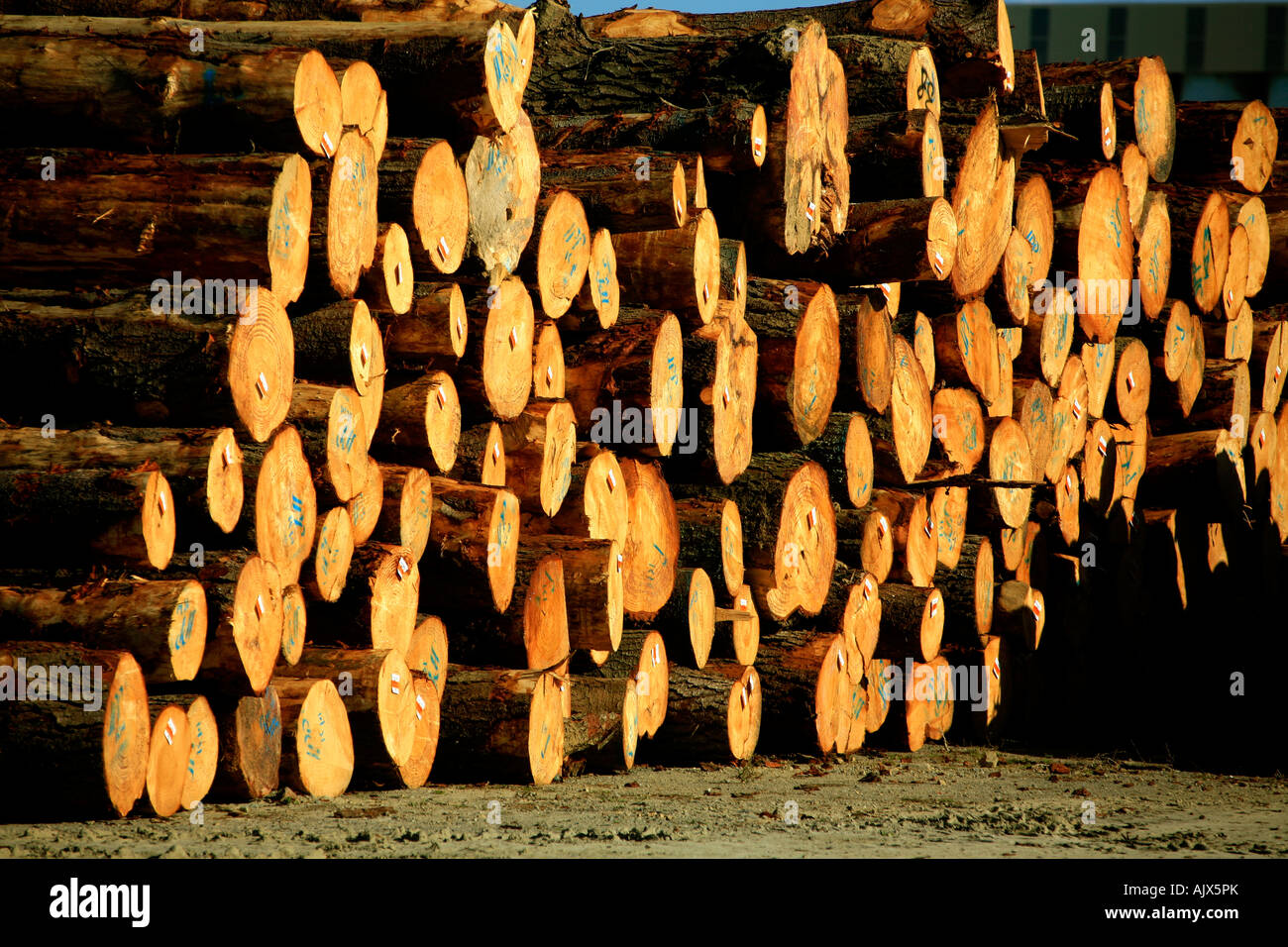 Radiata pine sawlogs sit together in a yard in Wellington New Zealand - Stock Image