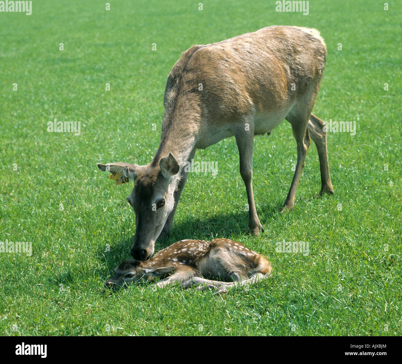 Farmed red deer hind attending her young calf on grass - Stock Image