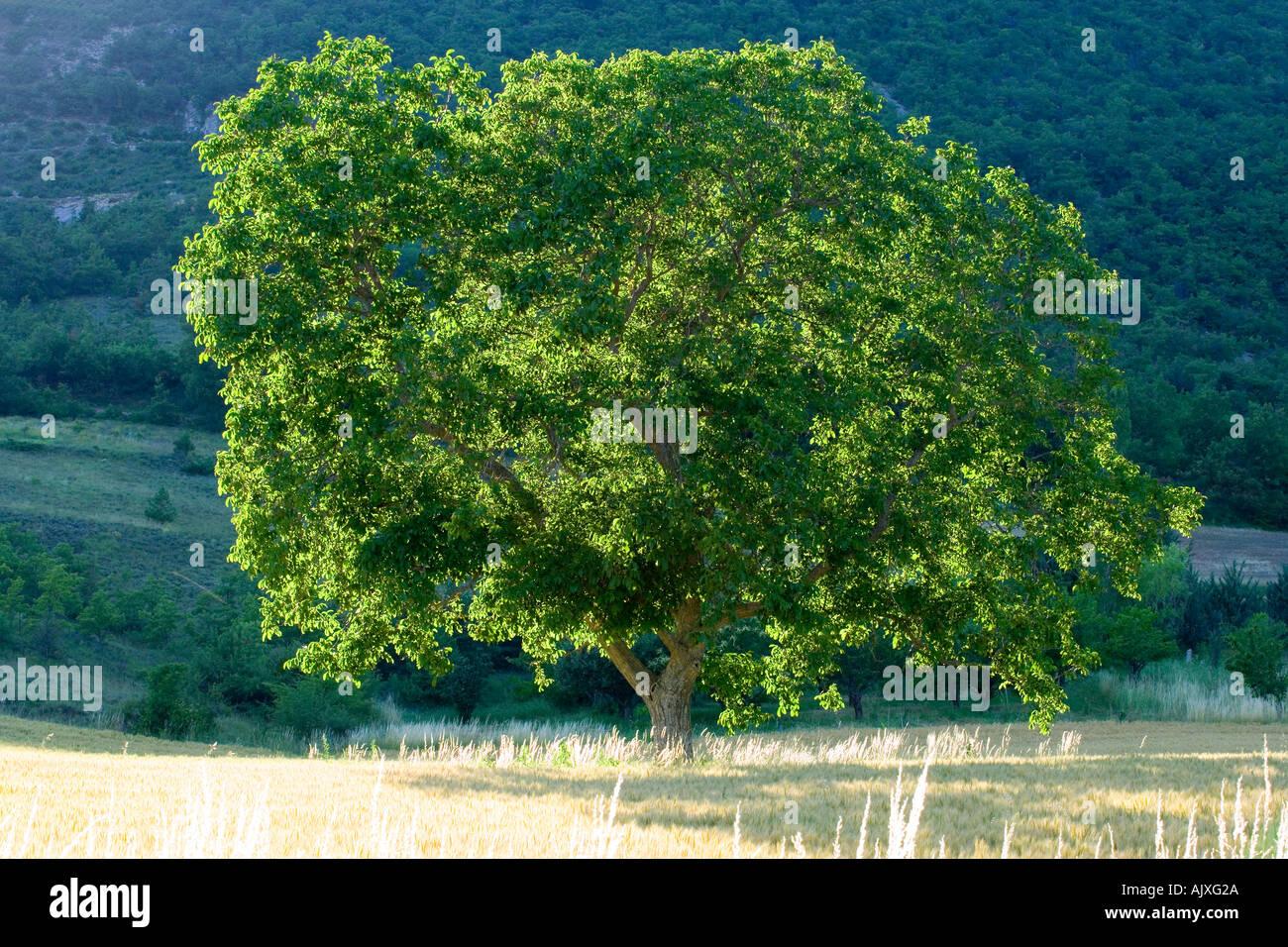 Tree in wheat field France - Stock Image