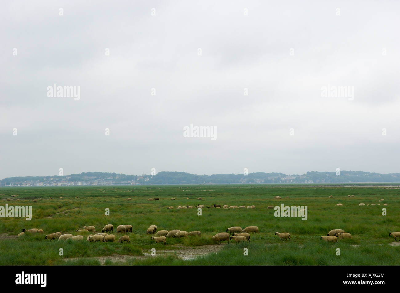 Sheep grazing Bay of the Somme, Picardy, France Stock Photo