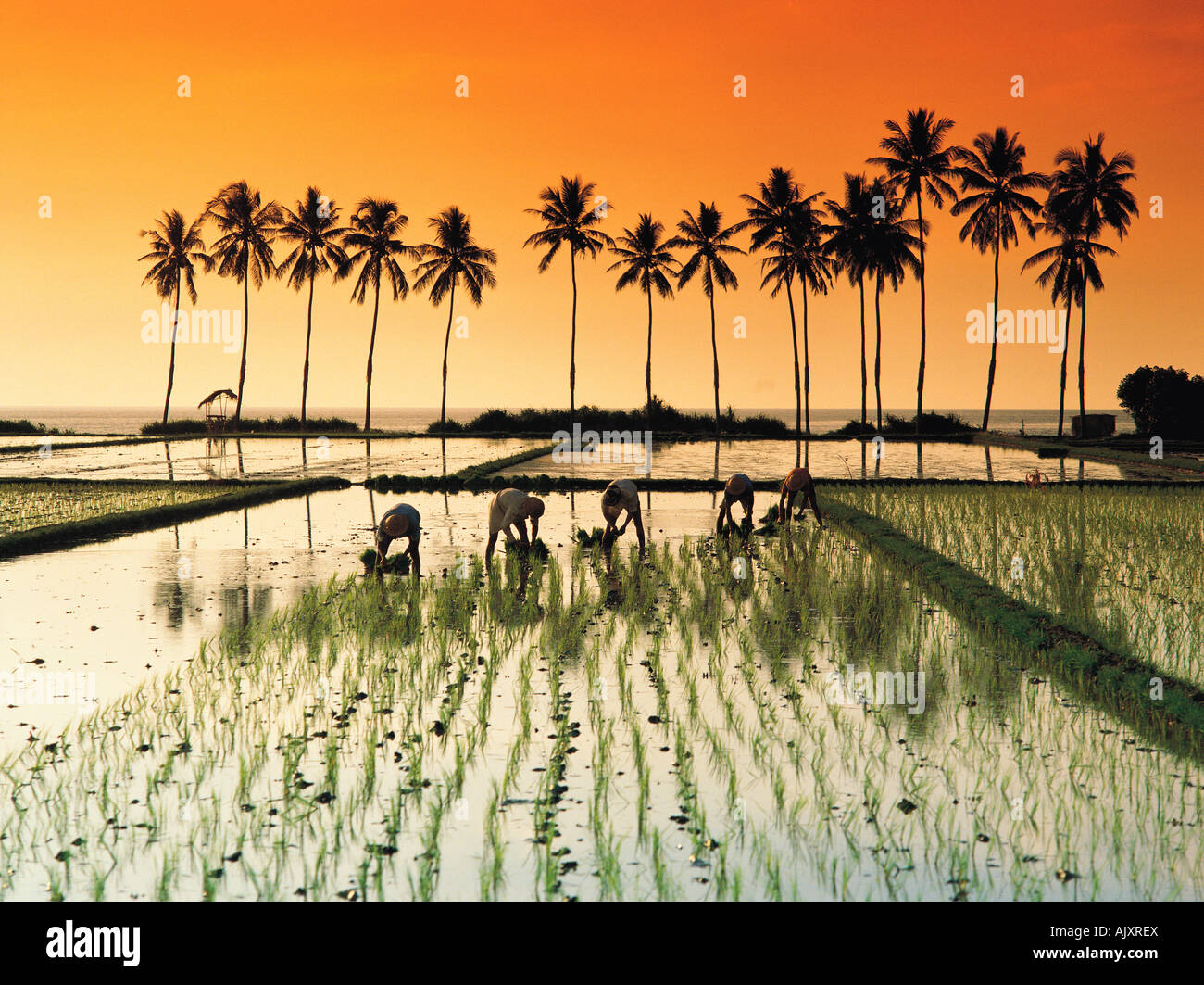 Travel, Indonesia, Bali, Agriculture, Rice paddy field workers at sunset, Kali Buk Buk, View with palms, Stock Photo