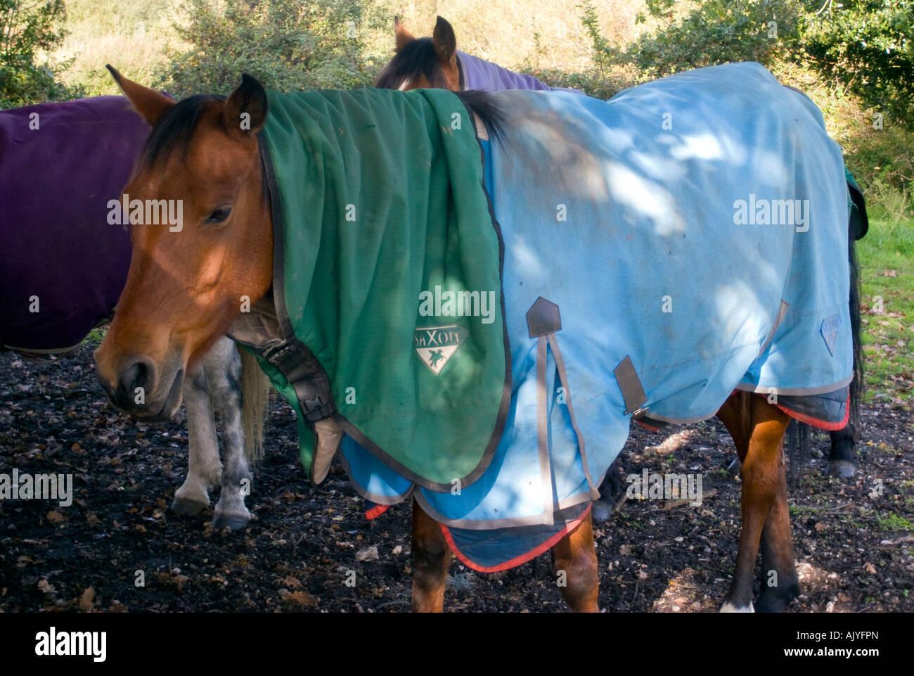Chestnut horse in winter coat - Stock Image