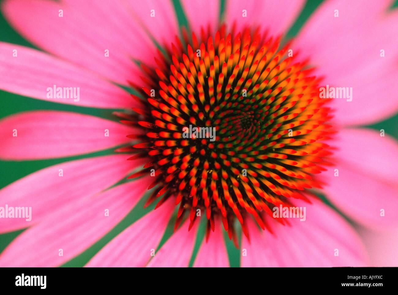 Purple Coneflower / Roter Sonnenhut / Purpur-Sonnenhut - Stock Image