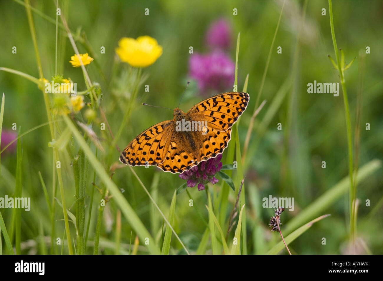 High brown fritillary Argynnis adippe on clover Dobshall Wood Pasture nature reserve Arnside Cumbria UK - Stock Image