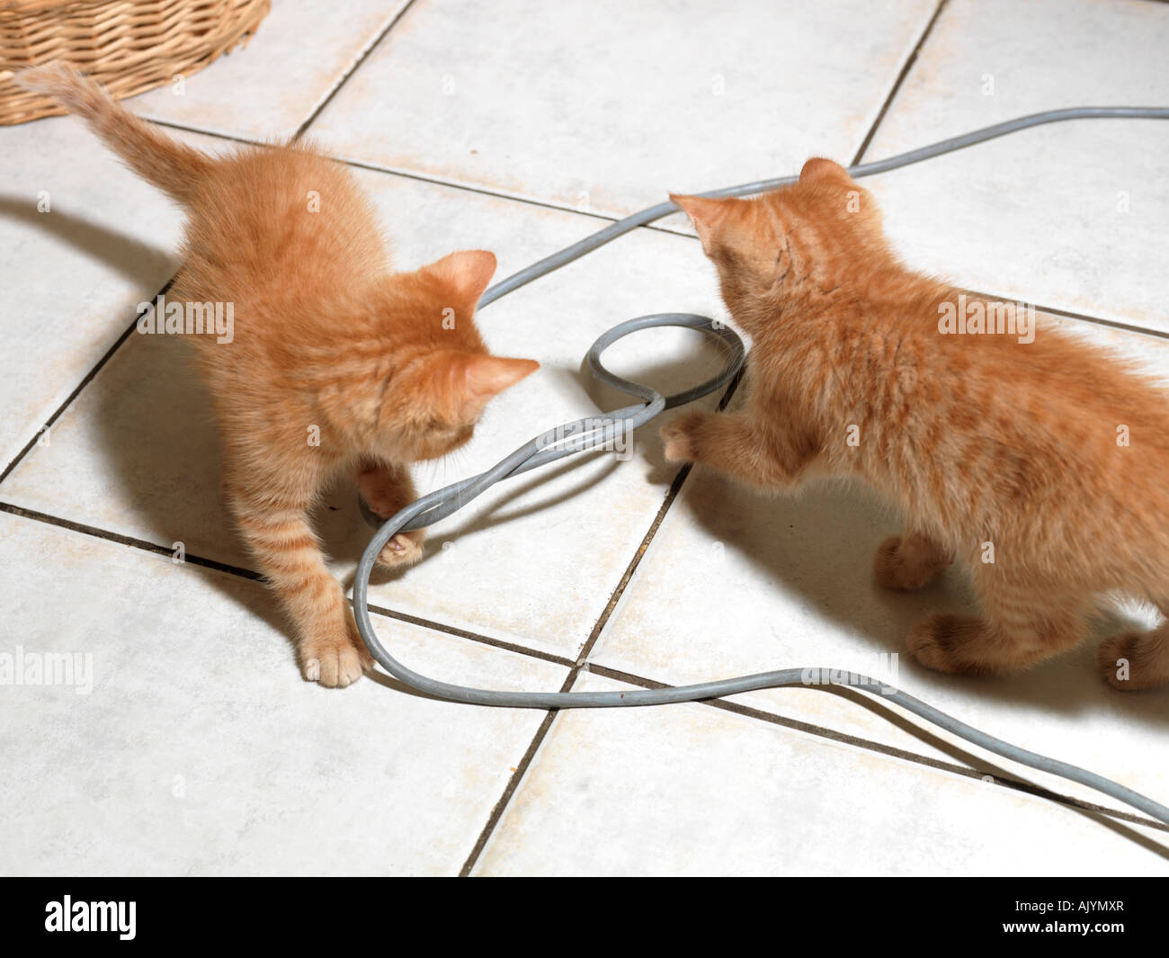 Kittens Biting Electrical Wire Stock Photo: 14837182 - Alamy