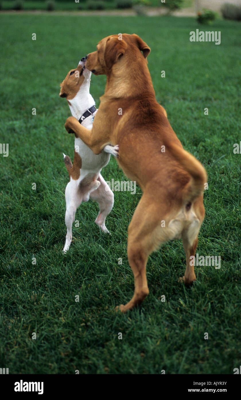 Jagdterrier und Mischling spielend draußen | terrier and crossbreed dog playing outside - Stock Image