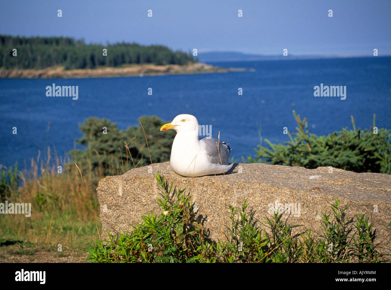 A seagull on the rocky coast of Acadia National Park, Maine - Stock Image
