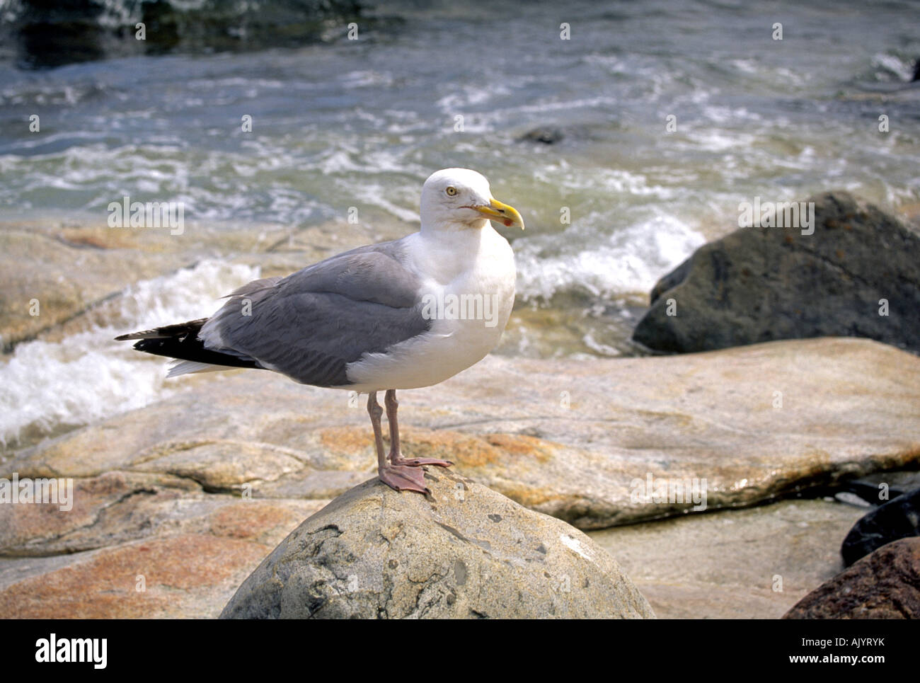 A seagull waits for dinner along the shore of Acadia National Park in Maine - Stock Image