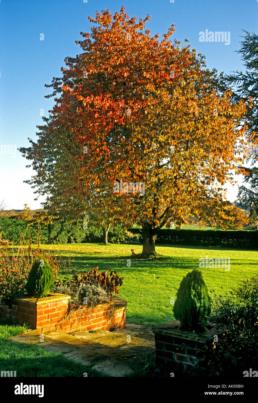 Autumn in country garden with prunus avium and steps leading to main lawn in Wiltshire England UK EU - Stock Image