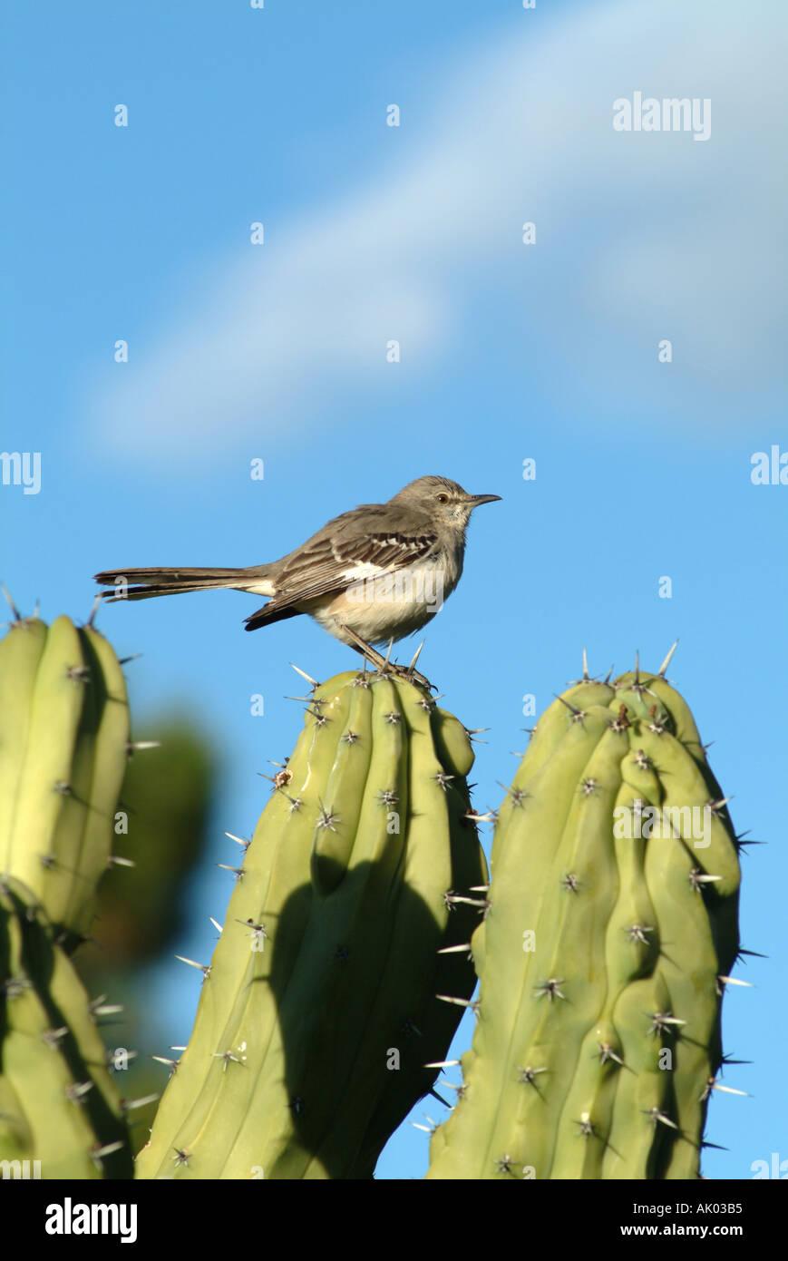 Northern Mocking Bird on Cactus at Scottsdale Arizona USA United States America USA - Stock Image