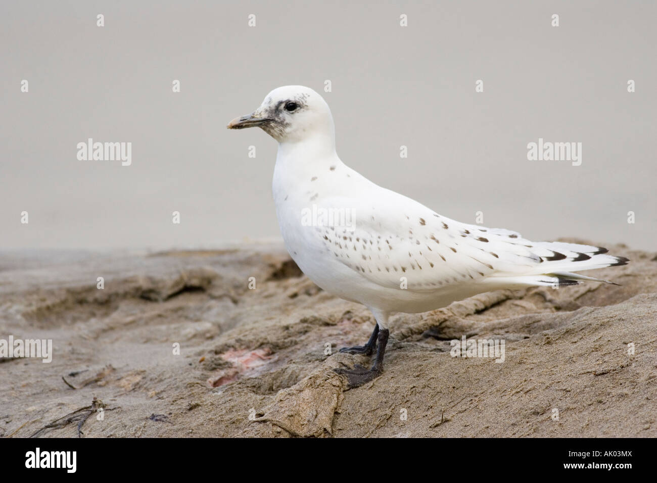 first-winter Ivory Gull on Minke Whale carcass - Stock Image