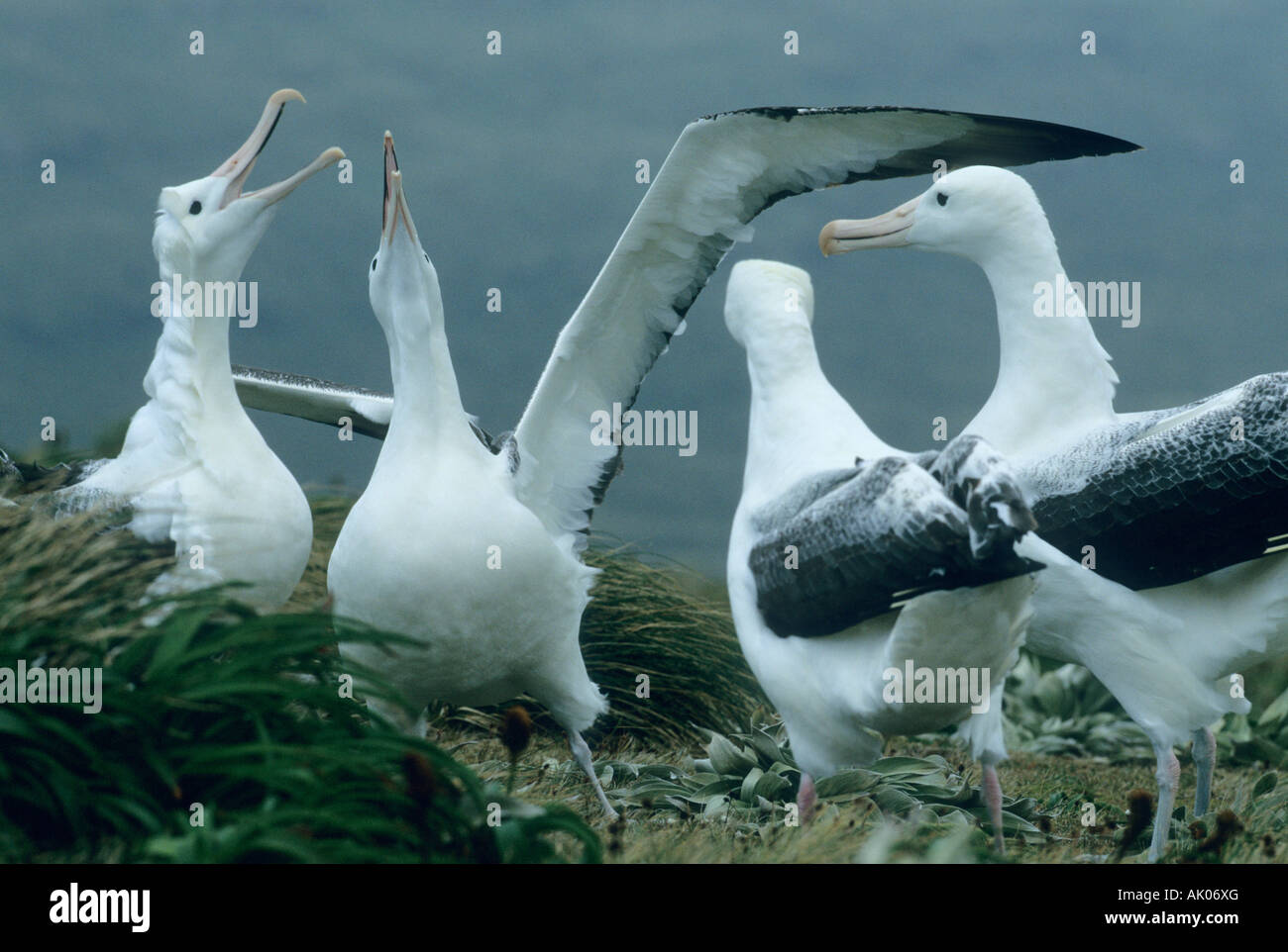 Royal Albatross (Diomedia epomophora) Gamming behavior Campbell Island, sub-Antarctic New Zealand Stock Photo