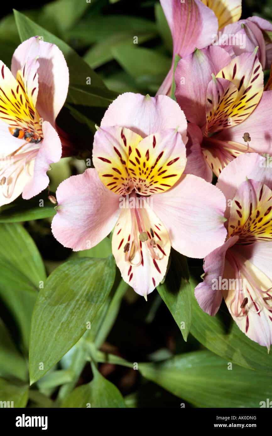 Peruvian lily chilean lily flower of the incas alstroemeria peruvian lily chilean lily flower of the incas alstroemeria izmirmasajfo
