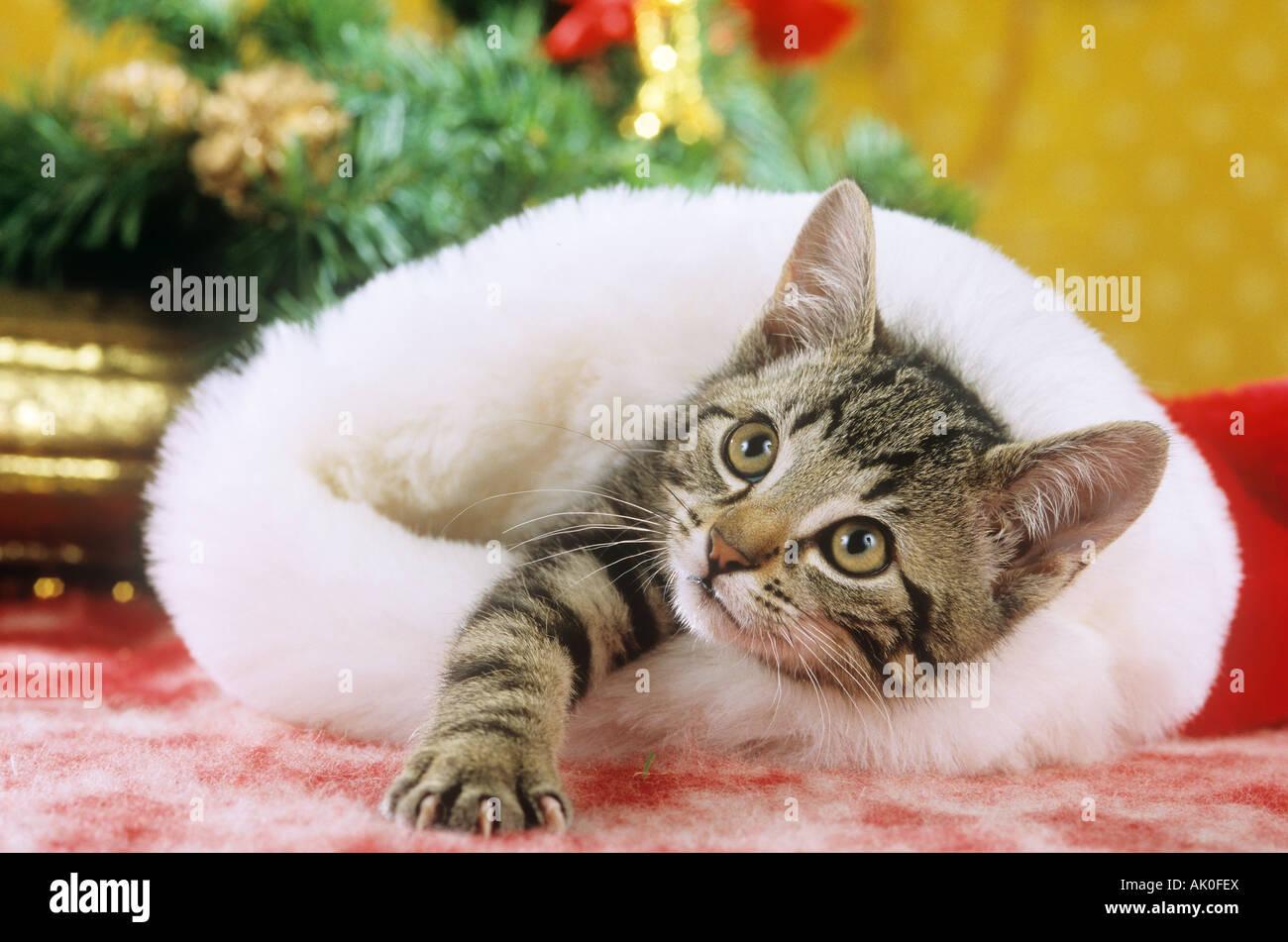 domestic cat - kitten in Santa Claus cap - Stock Image