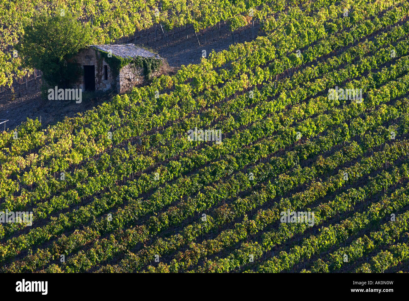 Rows of commercial wine grape vines growing field near Sienna famous brunello wine region Montalcino Tuscany Italyfamous - Stock Image