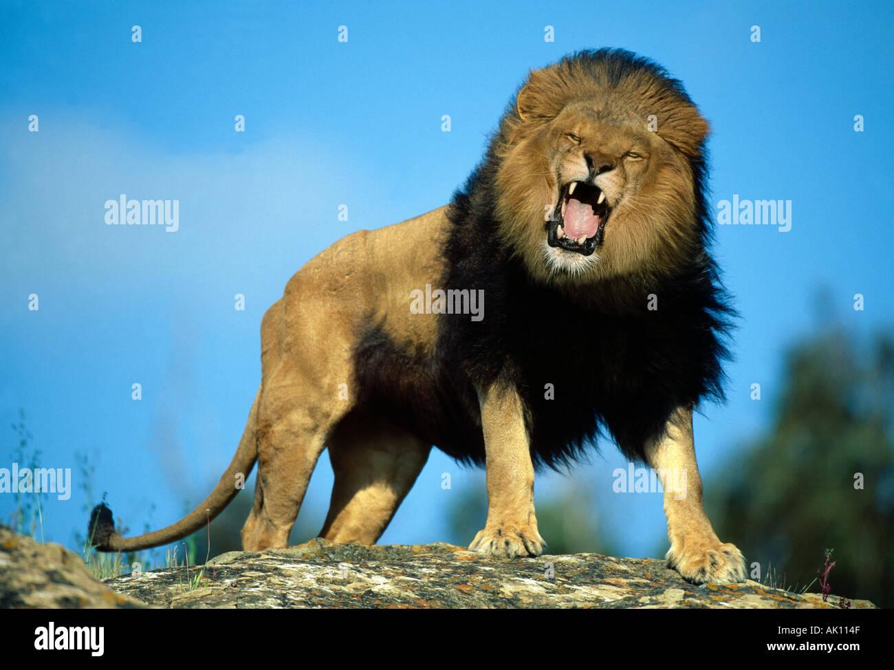 African Lion Roaring Animal Model Stock Photo: 1249614 - Alamy - photo#29