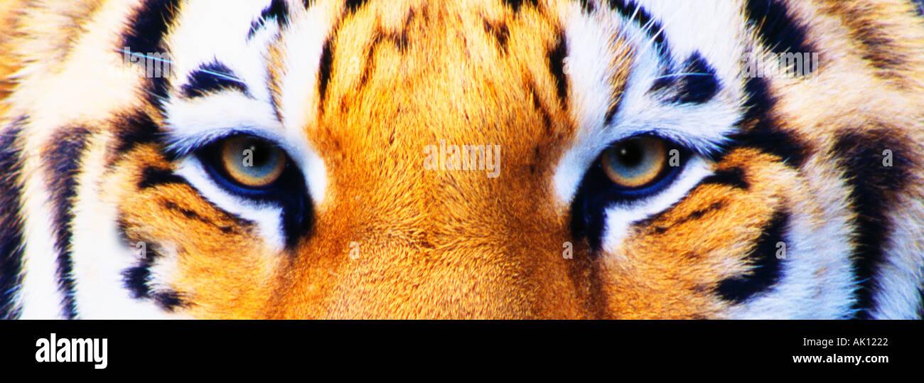 Siberian Tiger Eyes Captive - Stock Image