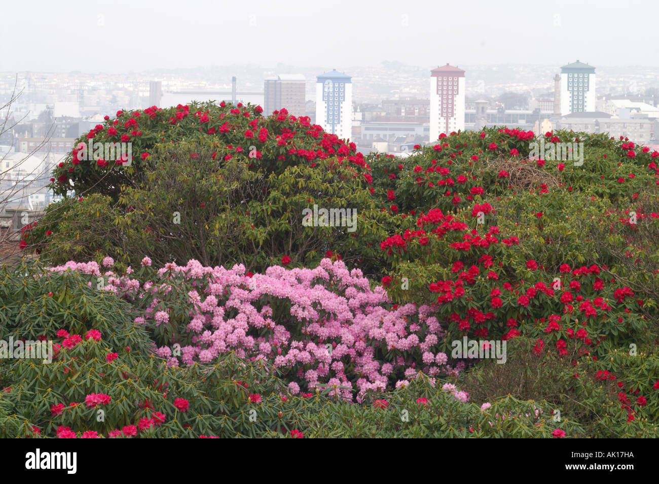 rhododendrons in mount edgcumbe garden looking over to Plymouth ...