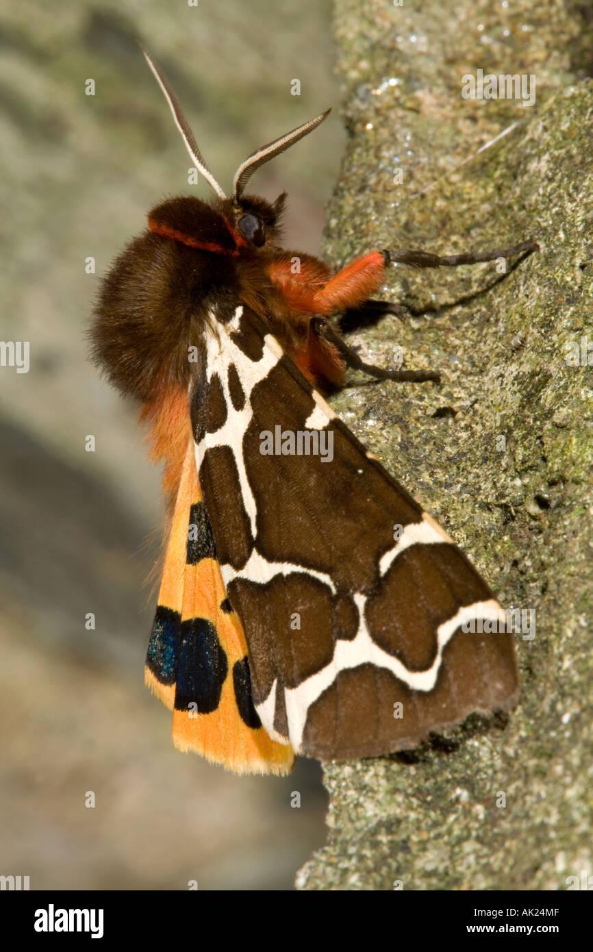 garden tiger moth Arctia caja summer cornwall Stock Photo: 8491342 ...