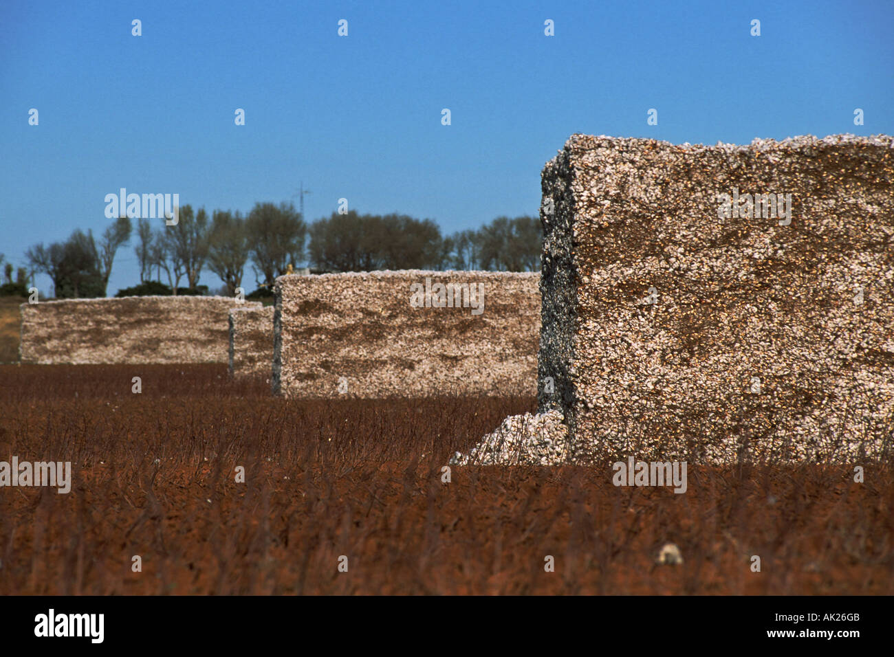 Bales of harvested cotton in field Needmore Texas USA genus Gossypium family Malvaceae - Stock Image