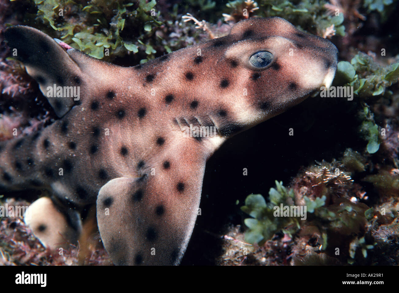 Horn shark Heterodontus francisci rests during the day in crevices and is active at night It is one of the few species of sharks that lays an egg California Pacific Ocean - Stock Image