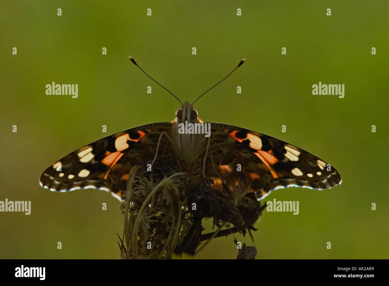 To recharge - Painted lady - Vanessa cardui - Stock Image