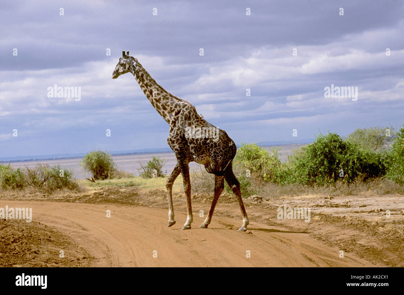 Maasai Giraffe in Lake Manyara National Park, Tanzania Stock Photo